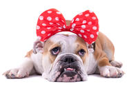 Sad puppy with a red bow